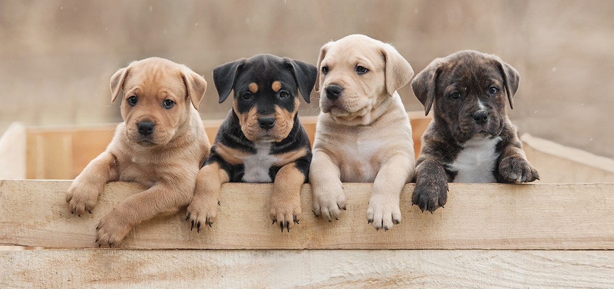 Researching the Right Puppy Breed for Your Family